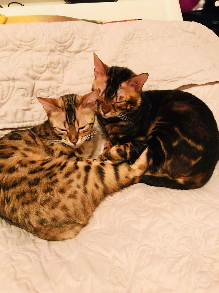 Bengal Kittens In Westhill Aberdeenshire Gumtree