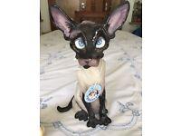Pets With Personality Siamese Cat 'Suki'