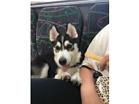 Husky puppy in need of a loving home
