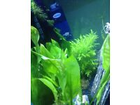 4 Black Neon Tetras, Male White Moscow Guppy and two Female guppies