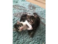 KITTENS STILL FOR SALE !!!!! Been let down and lost my messages so is anyone interested