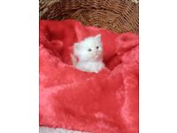 Full Siberian kittens looking for a new home