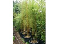 Golden Bamboo - Organically grown - 50 ltr pot - (3-4 Metres)