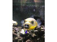 Xl dogface puffer fish