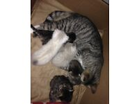1 white n tan female tabby & 3male tabbys £60 ready to go 2nd of August