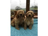 Gorgeous Male Cockapoo Puppies for Sale!
