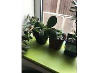 Money/jade plant