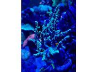 Sinularia green super fluo /frag coral marine