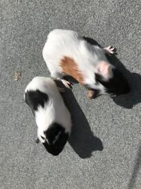 Baby guinea pig boys