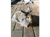 Lion cross Netherland doe(girl) bunny