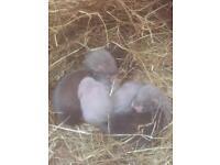 Baby ferrets Kitts