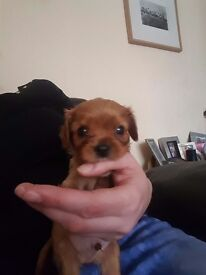 Ruby coloured boy king charles spaniel pup 5 weeks old £650
