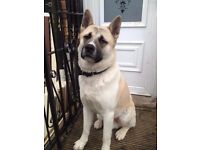 Male Japaneses/American Akita for sale & X large solid wired dog crate, great condition
