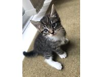 Male kittens for sale