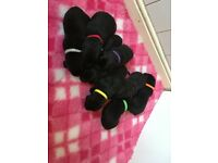 Beautiful Strong Litter Of 9 Black Labradors