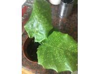 Calathea Musaica Plant