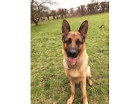 Stunning GSD for sale