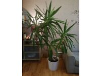 Large Yucca plant /tree 6ft tall. Very healthy See all pictures