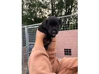 Patterdale Terrier Pups/Puppies