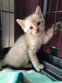 Rosetted Bengal Kittens 3 left