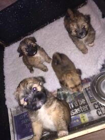 Lhasa apso pups