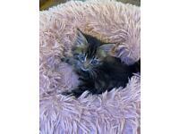 Beautiful British long furred x kitten
