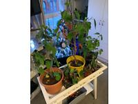 10 pcs hibiscus plants with stand