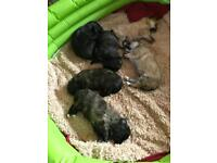Pomchon Puppies