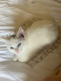 Beautiful kitten for sale