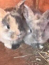 Baby lion Lop bunnies
