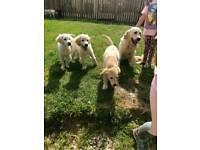 Kc reg golden retriever puppy's y