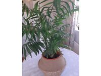 BEAUTIFUL PARLOUR PALM AND BELLY POT