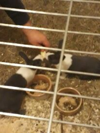 Baby rabbits 8 weeks old £25 for 1 or £40 for 2