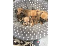 Chihuahua puppy's