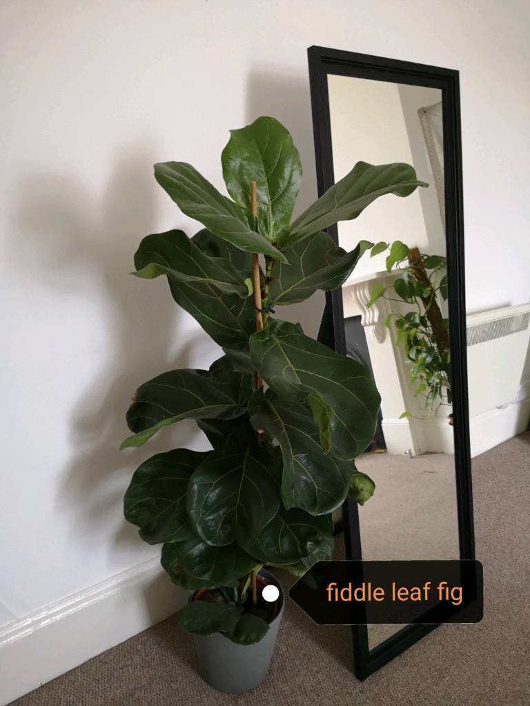 Various house plants for sale | in Southsea, Hampshire | Gumtree on peppermint tree plant, cycad plant, reed plant, foxfire plant, gazania plant, no light indoor plant, lotus plant, google plant, hickory plant, garland plant, amazon plant, miracle fruit plant, king plant, arcadia plant, violet flower plant, eagle plant, yucca plant, ebay plant, mulberry plant, fig plant,