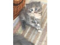 Persian/ragdoll grey calico female kitten £300