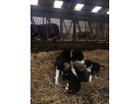8 week old Border Collie pups for sale