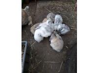 baby rabbits medium lop eared