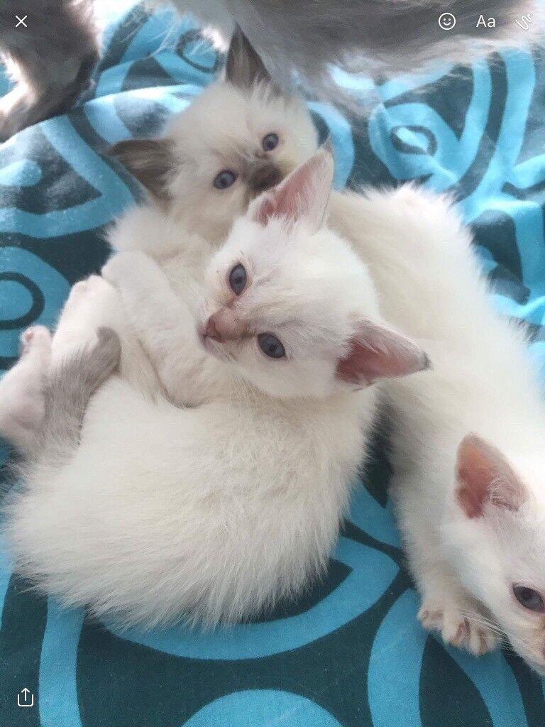 Burmese kittens for sale in Hurstpierpoint West Sus