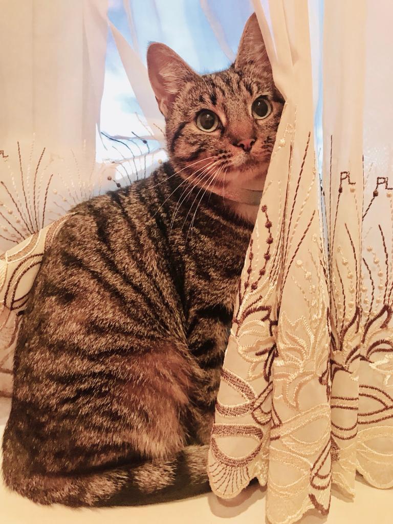 Missing female tabby cat