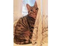 Missing female tabby cat