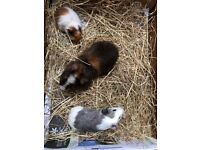 2 baby male guinea pigs & 1 adult