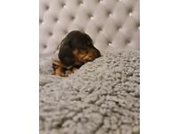 Silver minature dapple dachshund