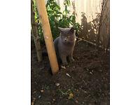 MISSING GREY CAT - BOSTON SPA, WETHERBY