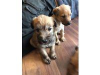 Genuine Norfolk tumbler and Smithfield Lurcher pups