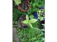 Plant for sale- A young Aucuba Japonica or Japanese Laurel plant
