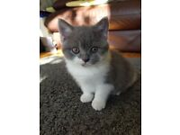 *SOLD PENDING COLLECTION* Lovely British Shorthair Kitten