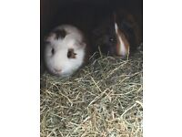 2 Males Guinea Pigs for sale.
