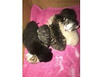 5 beautiful kittens ( all sold) born on the 9th of Oct