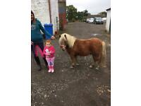 Miniature pony lead rein or companion